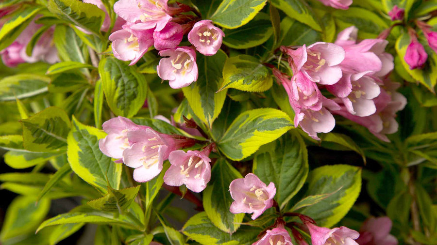 Rainbow Sensation™ Weigela