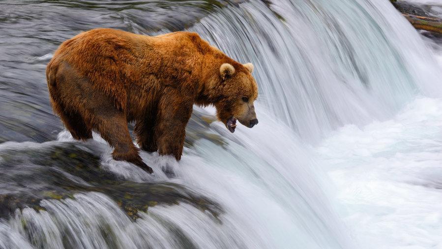 Brown bears, Alaska