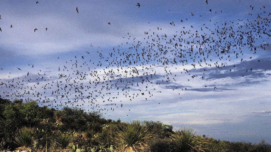 Bats, Carlsbad Caverns National Park