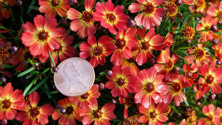 coreopsis varieties