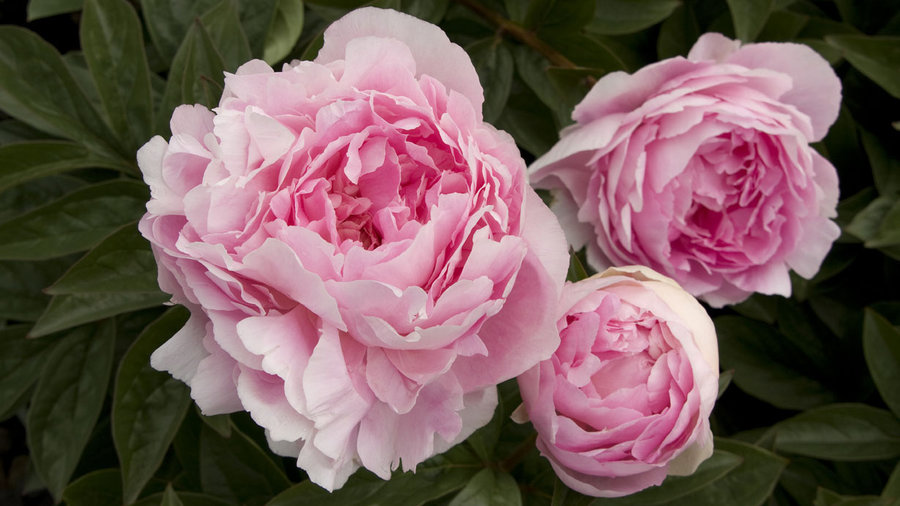 How to Grow Peonies - Sunset Magazine