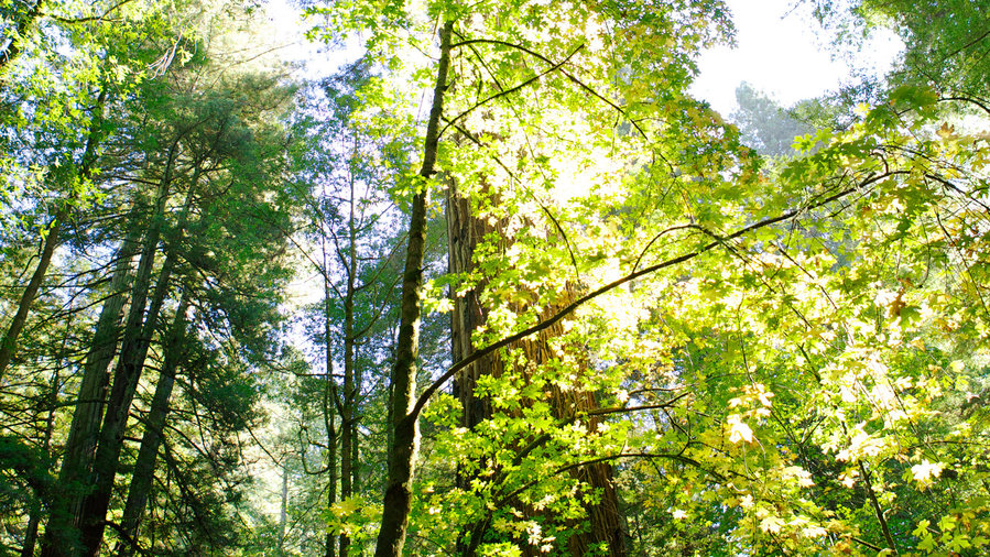 Trees at Armstrong Redwoods State National Reserve in California