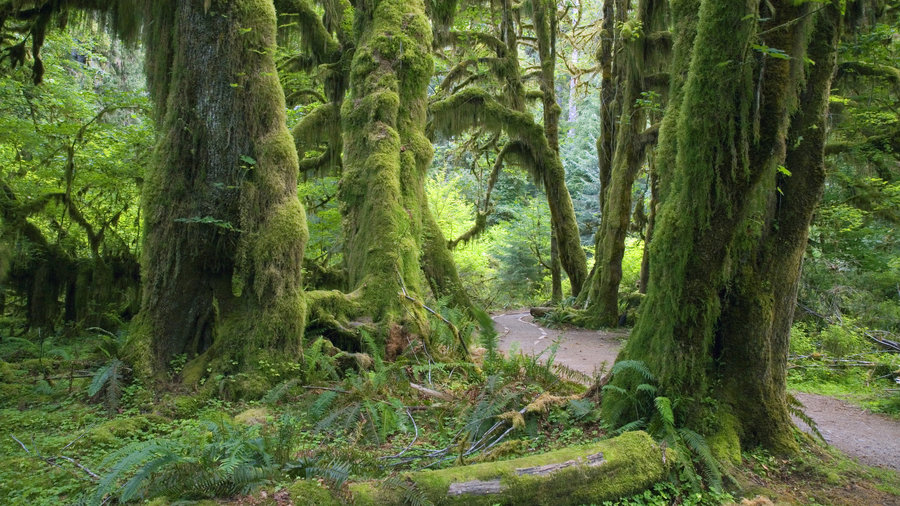 The Hall of Mosses, one of the best hikes at Olympic National Park for an easy hike that shows moss-draped, verdant trees