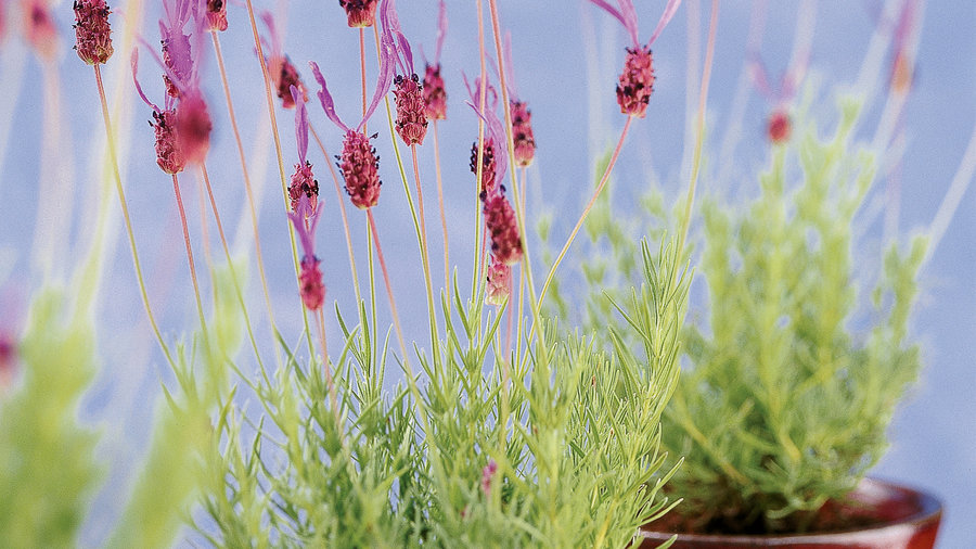 Compact lavenders