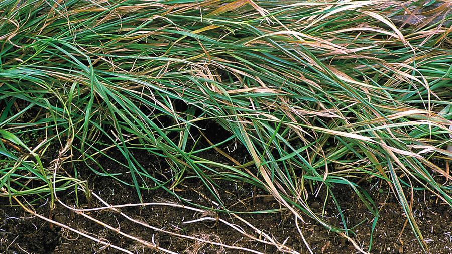 Quack grass (<i>Elytrigia repens</i>)