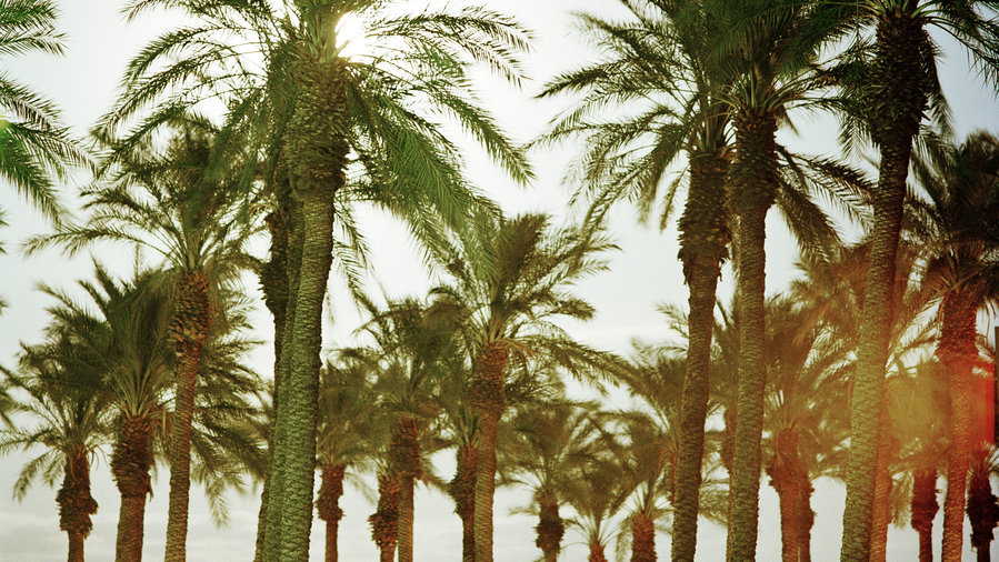 Date Palm (Phoenix dactylifera) & 5 Iconic Palm Trees for Home Gardens - Sunset Magazine - Sunset ...