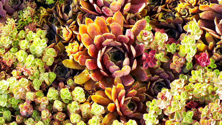 Choose fiery succulents