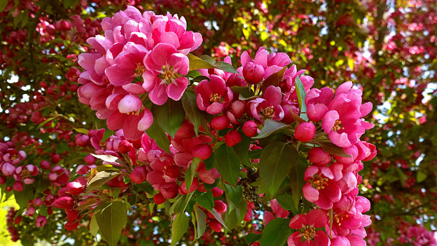 Top 10 trees for small spaces sunset magazine sunset for Flowering ornamental trees zone 5