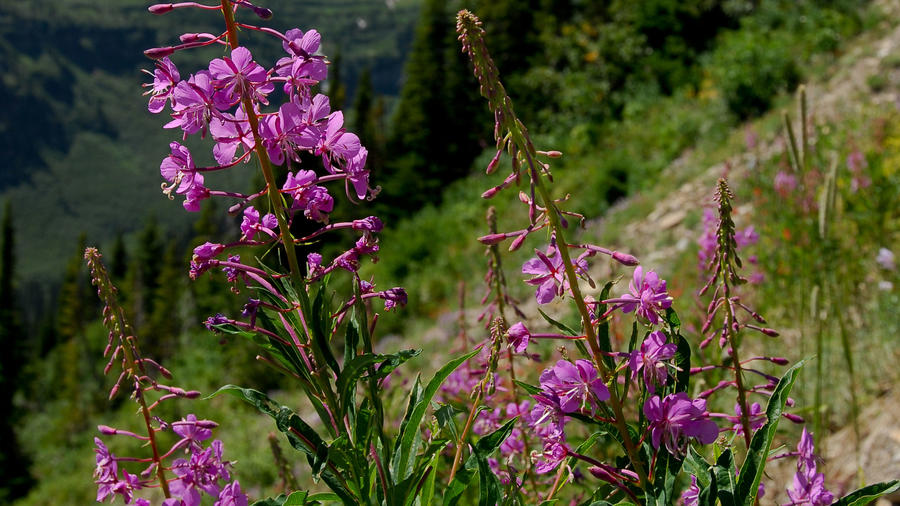 Fireweed Flower, Glacier National Park