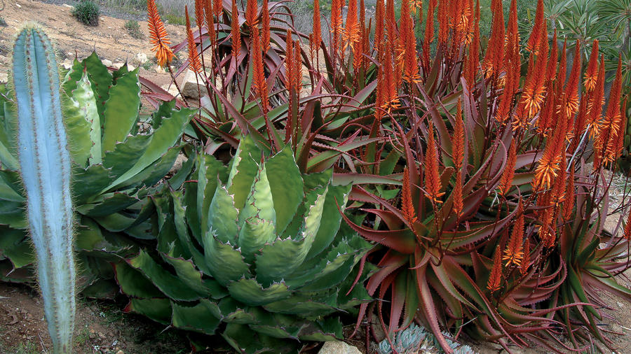 Agaves Living Sculptures Sunset Magazine