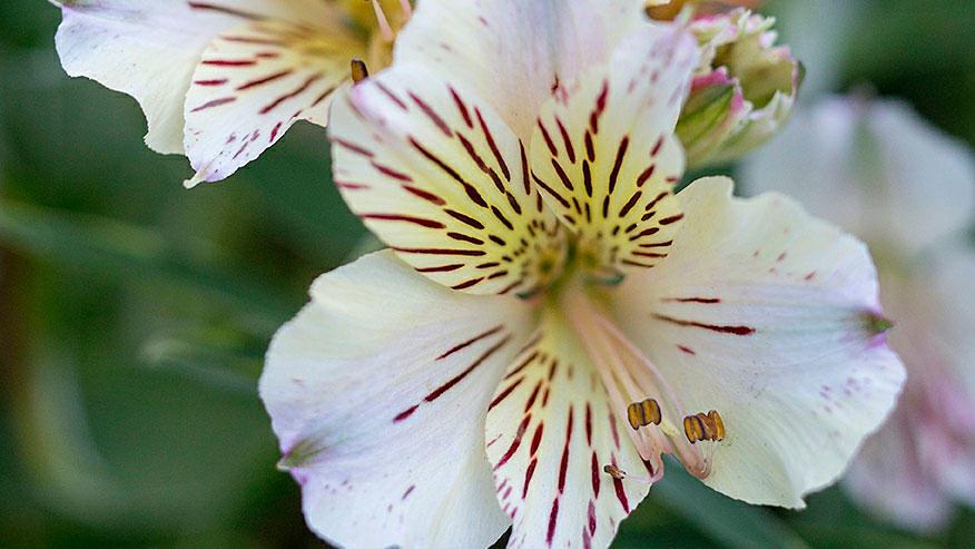 Alstroemeria 'Tall Pink'