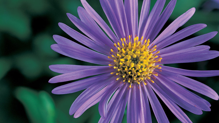 10 Easy-Growing Asters