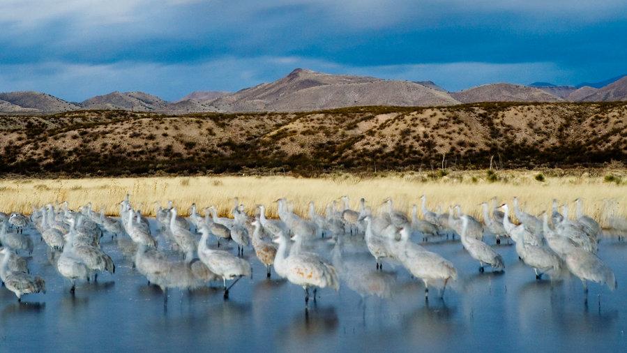 Bosque Del Apache, seasonal bird migration.
