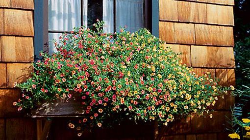Calibrachoa, the petunia look-alike