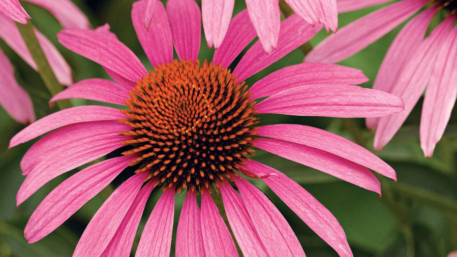 Coneflower (<i>Echinacea</i>)