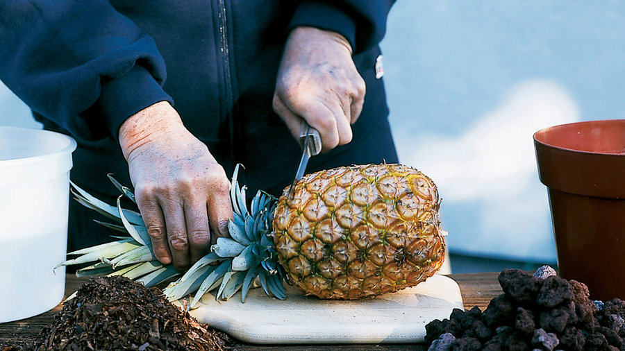 How to Grow Pineapples in Pots