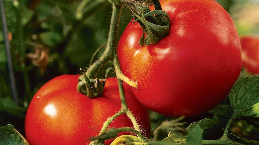 Your perfect tomato