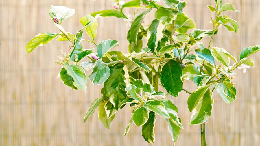 How To Grow A Eureka Lemon Tree Sunset Magazine
