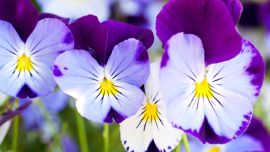 'Cool Wave' pansies