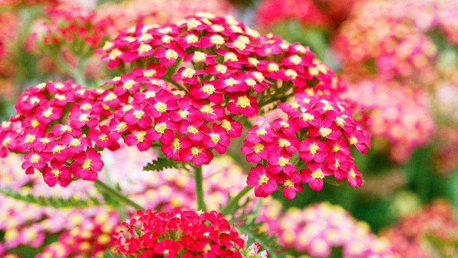Perennials: Flowers