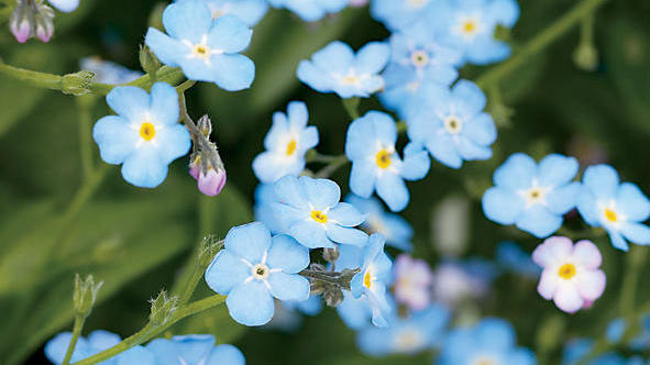 Forget-me-not (<i>Myosotis sylvatica</i>)
