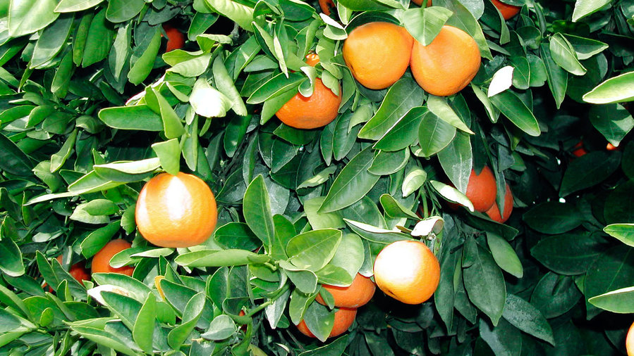 'Gold Nugget' mandarin tree