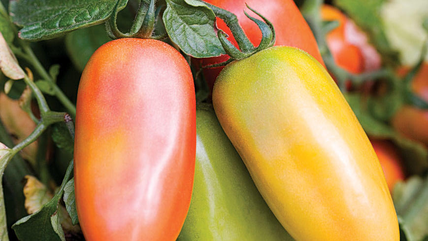 'San Marzano' tomato