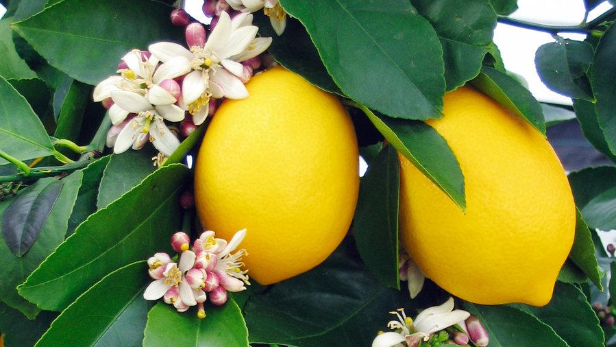 Organic Meyer lemon tree