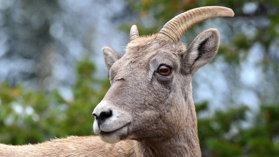 A bighorn sheep at Sheep Lake in Rocky Mountain National Park