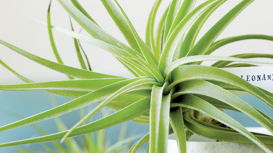 Undemanding air plants