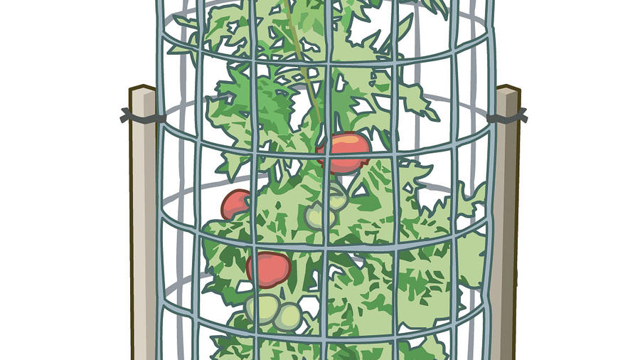Caging tomatoes