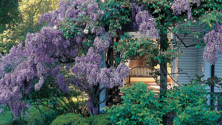 Wonderful wisterias