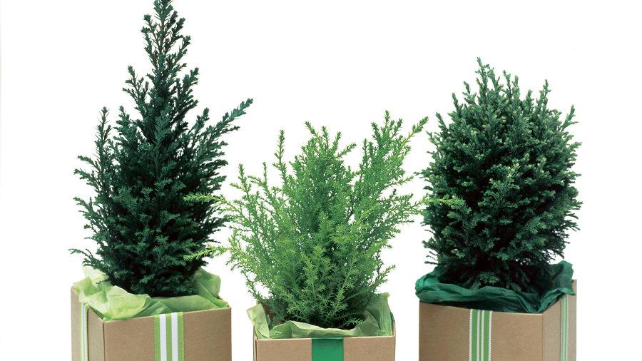 Mini evergreen