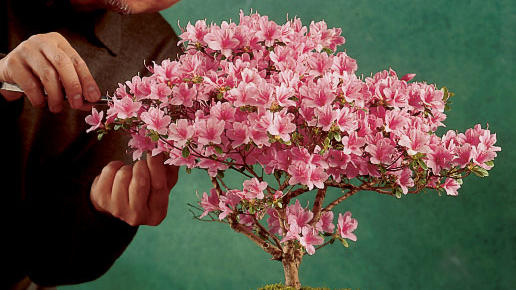 An easy azalea bonsai<br />