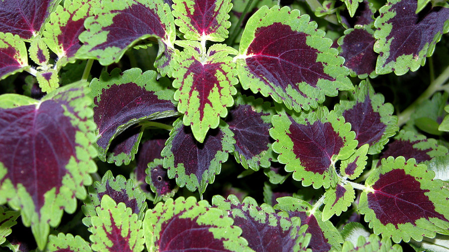 19 Colorful Plants for Shade Gardens - Sunset Magazine ...