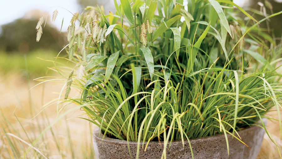 Gardening with ornamental grasses: A sweet scent