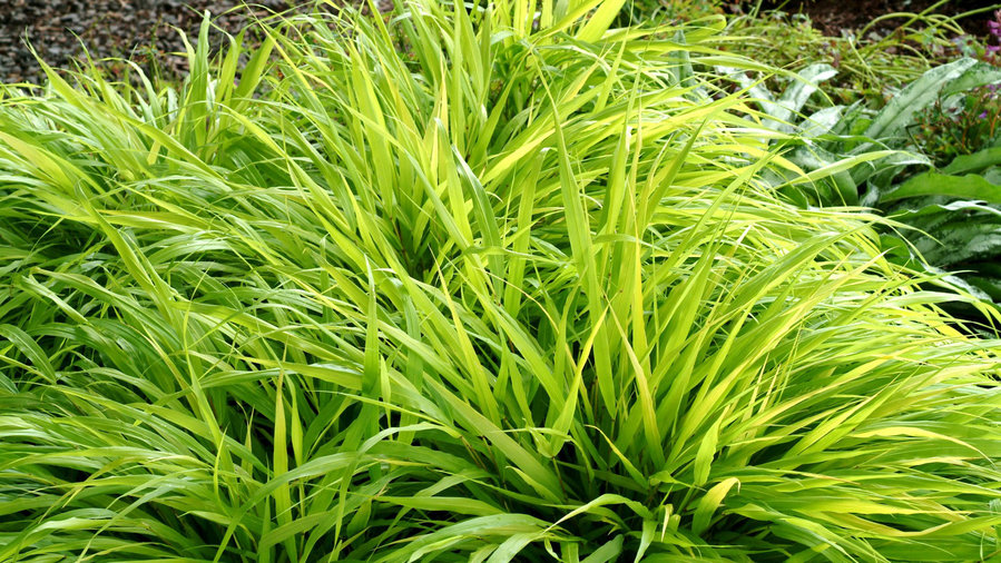 Partial Shade - Japanese forest grass <em>(Hakonechloa macra</em> 'Aureola')