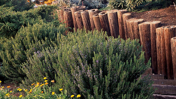 Which Rosemary Plant Is Right For You Sunset Sunset Magazine