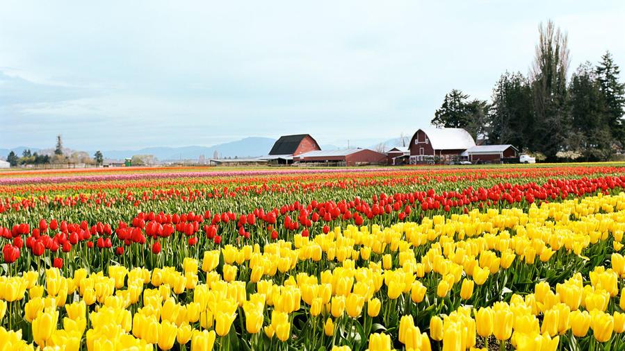 Tulips in bloom in Skagit Valley
