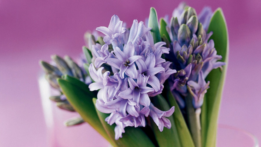 Grow a bouquet of hyacinths