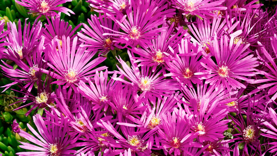 Fire-smart plants: ice plant
