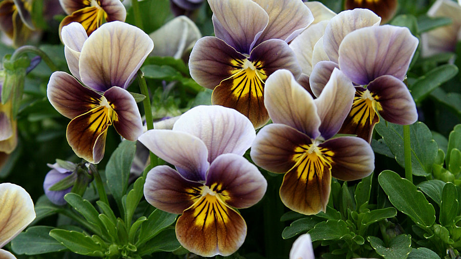 10 Pretty Pansies