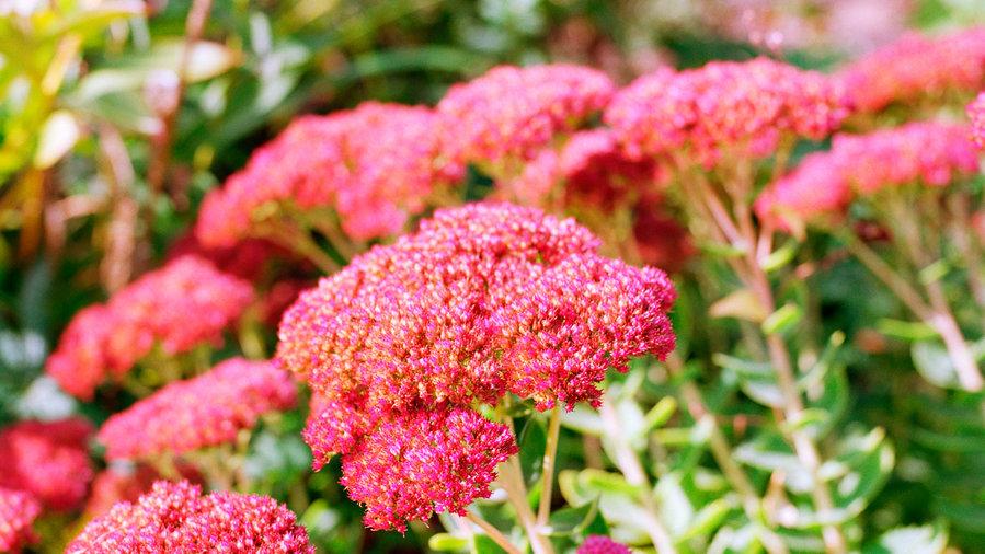Easy Care Sedum Plants Sunset Magazine