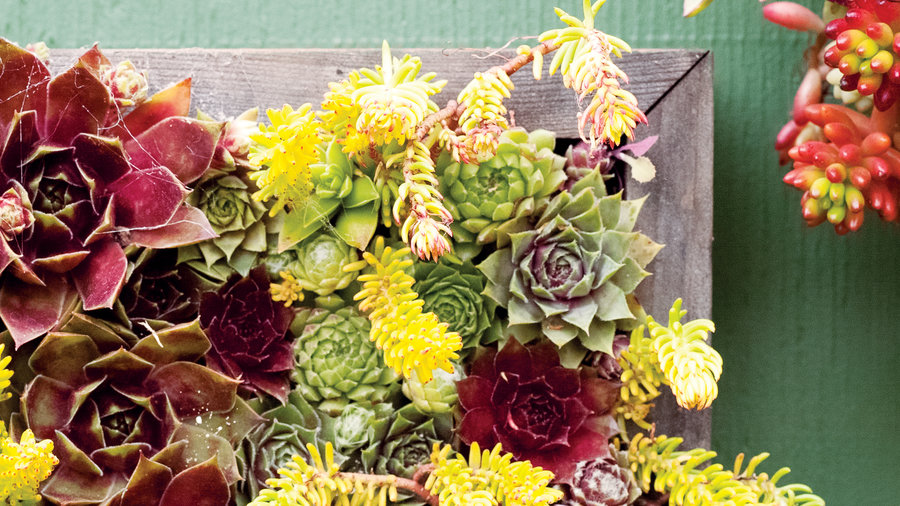 Hens and chicks & Drought Tolerant Container Plants Sunset - Sunset Magazine
