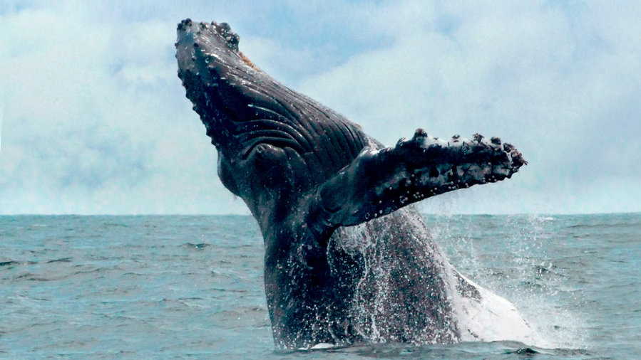 Watch whales breach