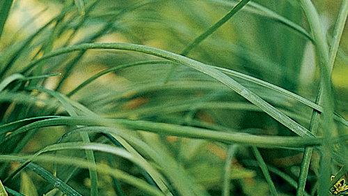 Chives ( <i>Allium</i>)