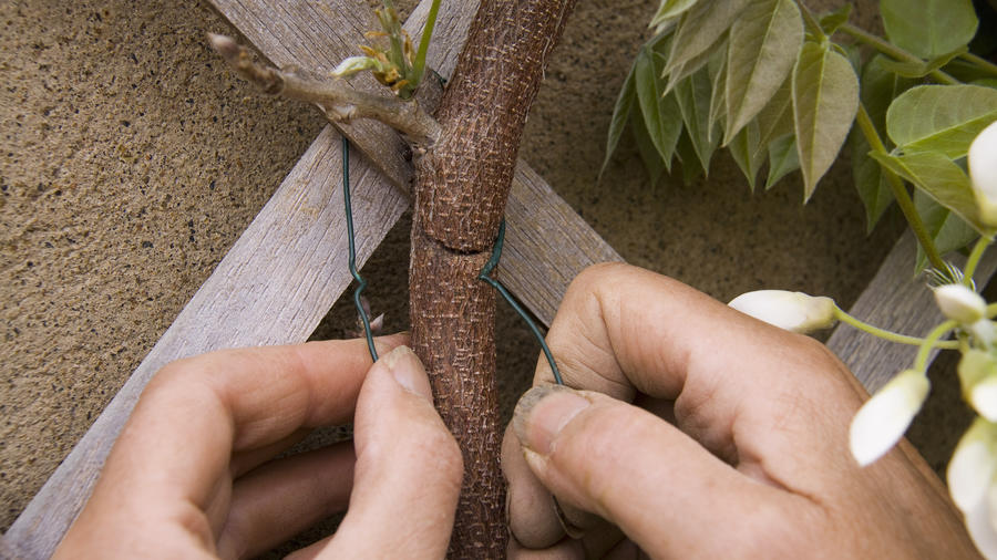 Training and pruning vines