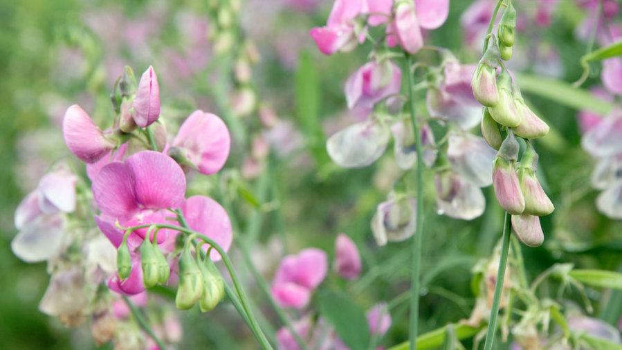Sweet Peas (<i>Lathyrus odoratus</i>)