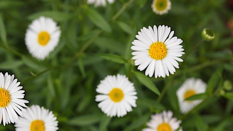 Shasta daisy, Chrysanthemum superbum (Leucanthemum superbum)