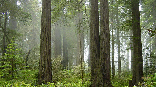 Redwood National Forest (photo via Flickr user Michael Schweppe)